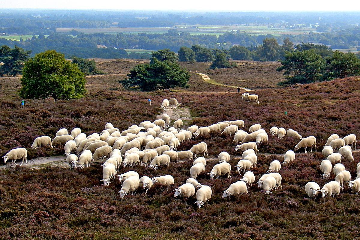 schapen in Drenthe. Bron afbeelding: wikipedia